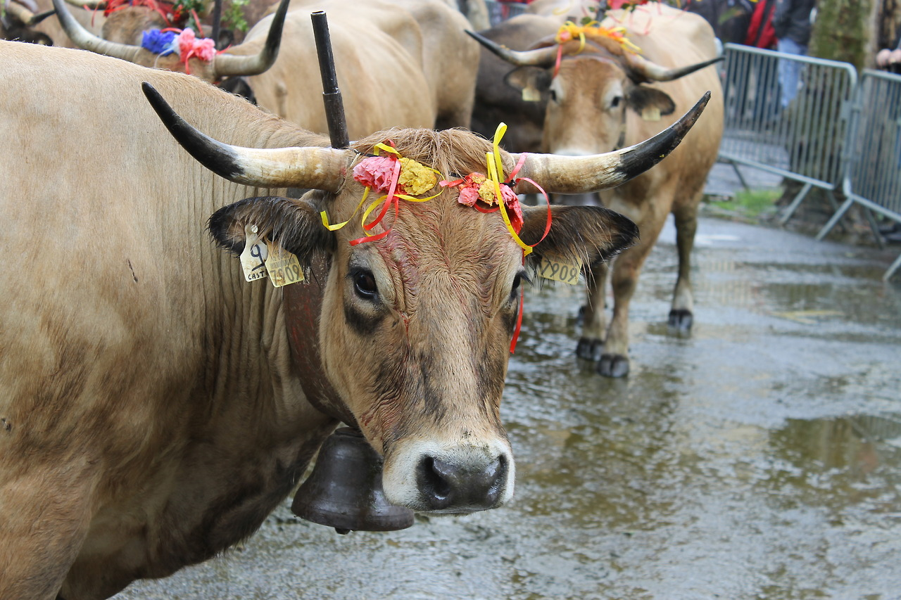 Cattle adorned with decorations and bells