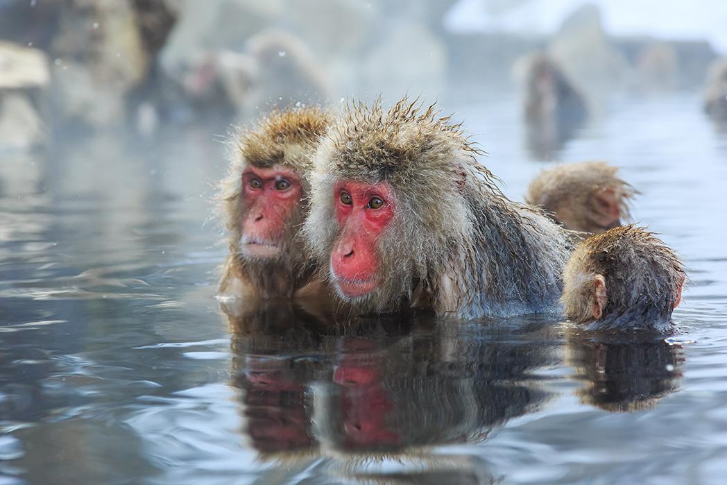 Snow Monkeys | Japan | lastminute.com.au