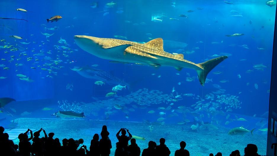 Okinawa Churaumi Aquarium In Motobu Expedia