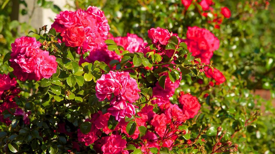 International Rose Test Garden Portland Oregon Attraction