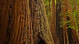 Showing item 7 of 91. Muir Woods - Tourism Media