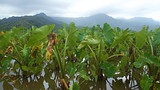 Hanalei Taro Fields - Tourism Media