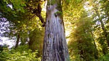Big Tree - California - Tourism Media