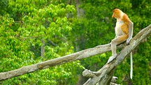 Labuk Bay Proboscis Monkey Sanctuary - Sandakan