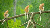 Labuk Bay Proboscis Monkey Sanctuary - Sandakan - Tourism Media