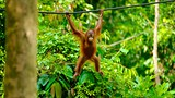 Sepilok Orangutan Rehabilitation Centre - Asien - Tourism Media