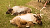 Hardy's Reindeer Ranch - Champaign - Visit Champaign County