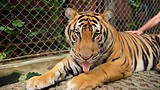 Showing item 14 of 90. Tiger Kingdom Phuket - Phuket - Phang Nga - Tourism Media