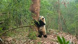 Giant Panda Breeding Research Base - China - Tourism Media