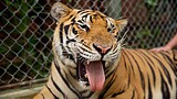 Tiger Kingdom Phuket - Phuket - Tourism Media