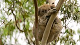 Koala Conservation Centre - Phillip Island - Tourism Media
