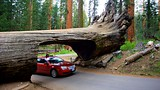 Tunnel Log - Sequoia and Kings Canyon National Parks - Tourism Media