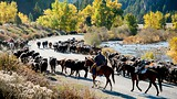 Cattle drive near Boulder - Donnie Sexton