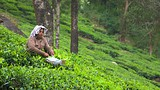 Tea Plantation - India - Tourism Media