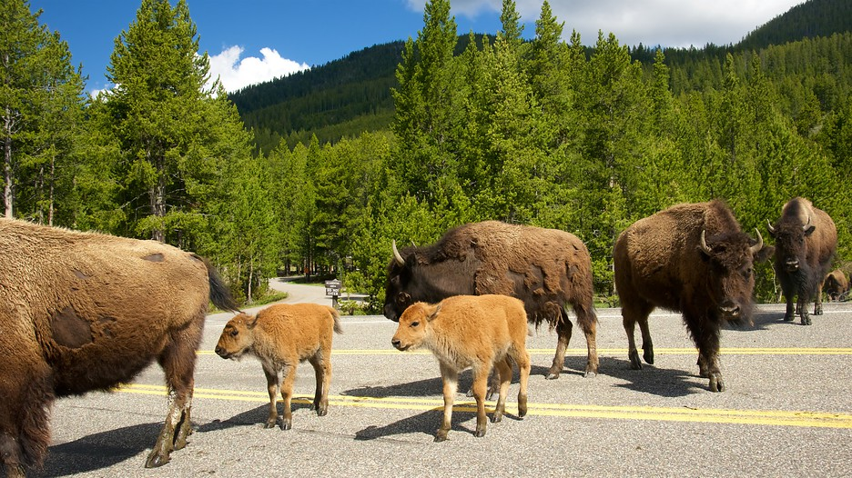 Yellowstone National Park Vacations 2017 Package Amp Save