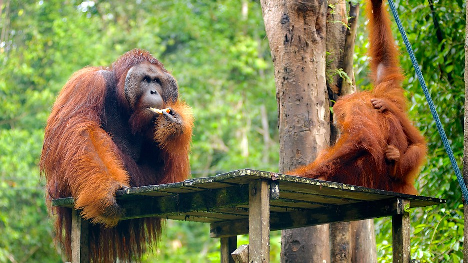 Semenggoh Wildlife Centre In Kuching Expedia