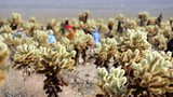 Cholla Cactus Garden - Joshua Tree National Park - Tourism Media